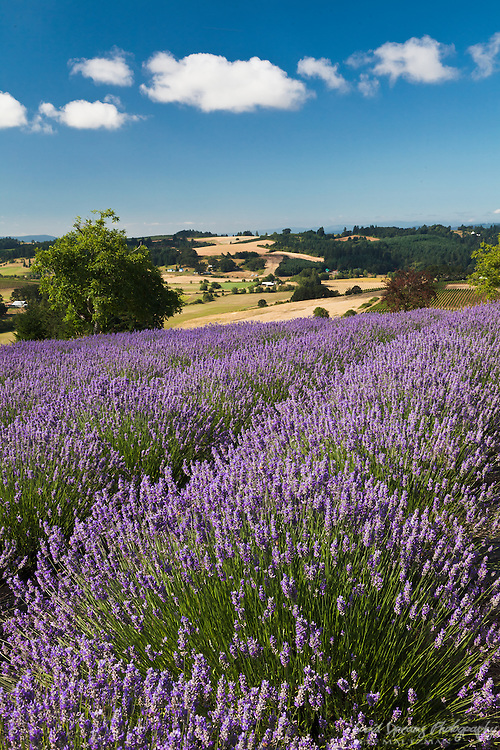 Rows of lavender cover the hillside at a small family farm in Yamhill, Oregon, near Portland.