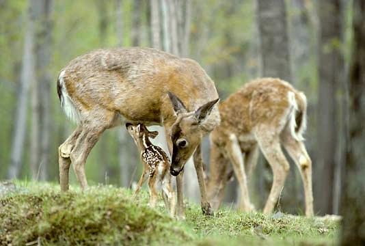 Whitetail Deer, (Odocoileus virginanus) Fawn tries to nurse. Doe sniffs fawn to determine kin.