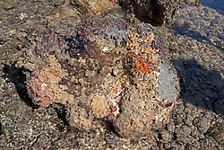 A rich diveristy of marine life including bryozoans and encrusting sponges under a coral lump on Turtle Reef in Talbot Bay on the Kimberley coast.