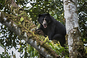 Spectacled Bear (Tremarctos ornatus)<br /> Maquipucuna Cloud Forest<br /> Andes<br /> ECUADOR, South America<br /> Native to South America<br /> Endangered