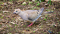 Mourning Dove. Image taken with a Fuji X-T2 camera and 100-400 mm OIS lens.