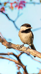 The Black-capped Chickadee is a small, North American songbird, a passerine bird in the tit family Paridae. It is the state bird of both Maine and Massachusetts in the United States, and the provincial bird of New Brunswick in Canada