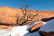Pinion Pine (Pinaceae Pinus edulis) Arches National Park, Utah, winter.