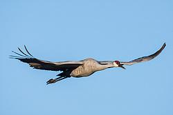 Sandhill crane in flight (Grus canadensis) at Bosque del Apache National Wildlife Refuge, New Mexico, USA