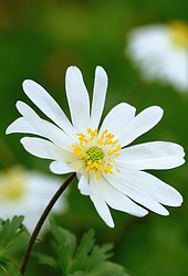 Anemone blanda 'White Splendour'  Windflower