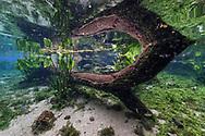 Unterwasserlandschaft mit Fischen in einem Karstquelltopf in Bonito, Brasilien<br /> <br /> Underwater landscape with fish in a karst spring in Bonito, Brazil