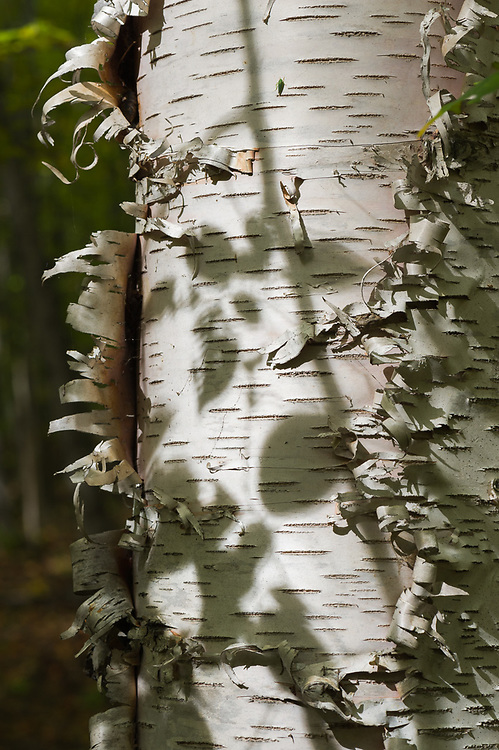 Paper birch with shadows, October, Jordan River Valley, Mackinaw State Forest, Antrim County, Michigan, USA