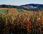 Cornfields on Amish Farm in rolling hills south of Berlin, Ohio.