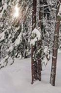 Fresh snow, sunlight, and trees in winter, Dorrington, Calaveras County, California