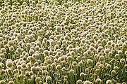 Onion Field Off Highway 126