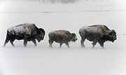 American bison in blizzard.Bull,cow and calf walking in the snow in Yellowstone National Park