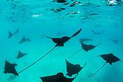 Spotted eagle ray (Aetobatus narinari) aggregation<br /> Santa Fe Island<br /> Galapagos<br /> Pacific Ocean<br /> Ecuador, South America<br /> IUCN Red Data: near threatened