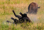 A bison rolls in dirt to remove shedding hair and chase away flies in Grand Teton National Park on July 24, 2017.