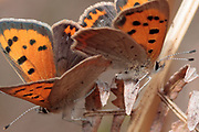 Small copper (Lycaena phlaeas) butterflies mating. Surrey, UK.