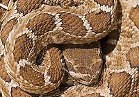 Northern Pacific rattlesnake, Crotalus viridis oreganus, in a resting coil. Mount Diablo State Park, California
