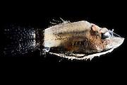[captive] Deep sea Barreleye Fish (Opisthoproctus soleatus), Deep Sea fish, Atlantic Ocean close to Cape Verde |