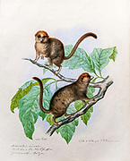 19th Century Hand colored Animal engraving of a tarsier on a tree