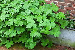 Pelargonium tomentosum AGM in a large trough - Peppermint geranium