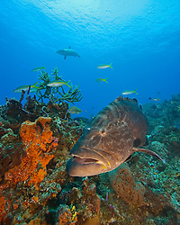 Black Grouper, Mycteroperca bonaci, West End, Grand Bahamas, Atlantic Ocean