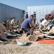 Scientists, students and volunteers engaged in cleaning the bones of an 18-meter long female fin whale (Balaenoptera physalus) that was found floating in Tokyo harbor in early 2012 and buried for about 16 months to facilitate decomposition. Even with the passage of so much time, there was still significant soft tissue and a power odor. The whale's vertebrae are visible here.