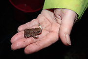 Common toad (Bufo bufo) juvenile recovered at road crossing on spring migration. Surrey, UK.