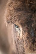 Close up of donkey head (Equus asinus), Santa Reparata di Balagna, Corsica, France