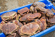 A box of freshly caught crabs ready for market, Folkestone Harbour, Kent, United Kingdom