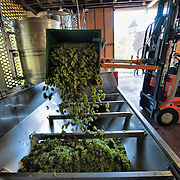 VARNA, ITALY - OCTOBER 13: Enologist Celestino Lucin empties a crate of harvested grapes into a de-stemming machine at  Abbazia di Novacella on October 13, 2010 in Varna, Italy. Abbazia di Novacella, in Alto Adige established in the year 1142 by Augustinian monks, is one of the oldest vineries in the world; it has a production of about 400,000 bottles of world class wines including Kerner, Sylvaner, Pinot Grigio, Gewurztraminer.