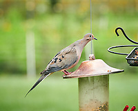 Mourning Dove. Image taken with a Nikon D850 camera and 200 mm f/2 lens