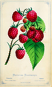 Herstine Raspberry from Dewey's Pocket Series ' The nurseryman's pocket specimen book : colored from nature : fruits, flowers, ornamental trees, shrubs, roses, &c by Dewey, D. M. (Dellon Marcus), 1819-1889, publisher; Mason, S.F Published in Rochester, NY by D.M. Dewey in 1872