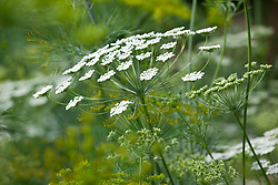 Ammi majus (Bishop's flower) with Anethum graveolens (Dill)