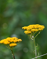 Rigid Goldenrod. Image taken with a Leica SL2 camera and 90-280 mm lens