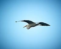 Great Egret in flight. Biolab Road, Merritt Island National Wildlife Refuge. Image taken with a Nikon D3s camera and 80-400 mm VR len (ISO 200, 400 mm, f/5.6, 1/800 sec).