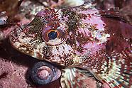 Bovichtus variegatus (Thornfish)