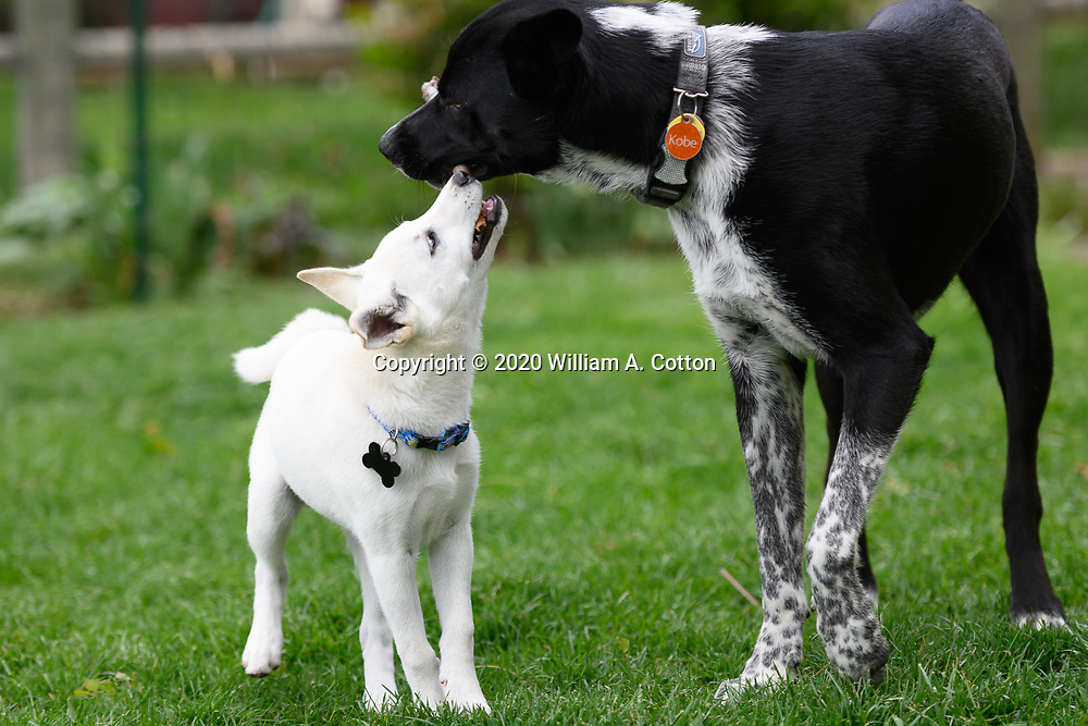 Mallows, Animal Friends Alliance foster puppy, and Kobe play in the yard, May 16, 2020.