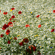 Wildflowers, including poppies, growing in St James Palace in London in summer.