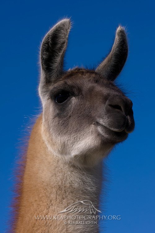 Llama, Deer Park Heights, New Zealand