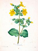 19th-century hand painted Engraving illustration of Mimulus (monkey flower or musk flower) flowers, by Pierre-Joseph Redoute. Published in Choix Des Plus Belles Fleurs, Paris (1827). by Redouté, Pierre Joseph, 1759-1840.; Chapuis, Jean Baptiste.; Ernest Panckoucke.; Langois, Dr.; Bessin, R.; Victor, fl. ca. 1820-1850.