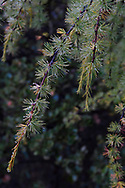A branch of a Chinese larch, Larix chinensis,  in the  Baima Snow Mountain Nature reserve, Yunnan, China