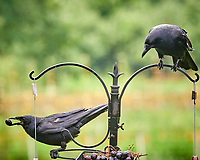 American Crow. Image taken with a Nikon D850 camera and 200 mm f/2 lens