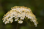 Whitebeam Tree Flowers, Sorbus aria, Monkton Nature Reserve, Kent, UK, broadleaf deciduous tree native to southern England, hermaphrodite, meaning each flower contains both male and female reproductive parts