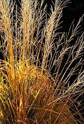 Molinia caerulea subsp. arundinacea 'Windspiel'