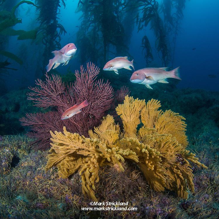 Several young California sheephead, Semicossyphus pulcher, meander among gorgonian corals and giant kelp at Shag Rock, Santa Barbara Island, Channel Islands, California, Pacific Ocean