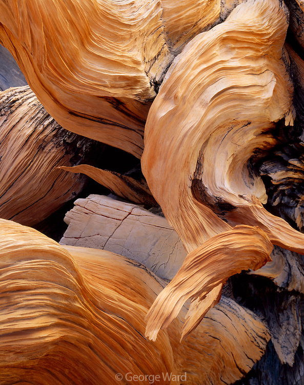 Gnarly Branches of Ancient Bristlecone Pine around Dolomite Rock, The White Mountains, California