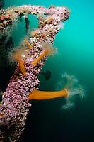 Plumose anemone, Metridium senile, on a ship wreck, Lofoten, Norway,