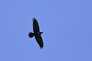 Common Raven - Corvus corax