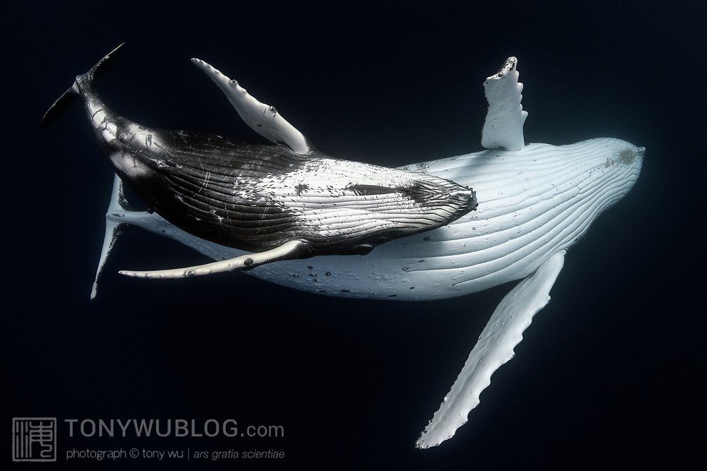 This is a female humpback whale calf (Megaptera novaeangliae australis) swimming together with her mother at depth, ventral surfaces of both whales clearly visible. The proximity of the calf to mother and similarity of body language underscores the bond between the two. This mother and calf were accompanied by at least three escort whales in a dynamic situation.