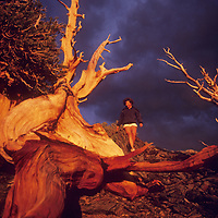 White Mts., CA, storm sunset over Bristlecone Pines, Lois Fischer (MR)