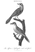 African Nightingale male and female Copperplate engraving From the Encyclopaedia Londinensis or, Universal dictionary of arts, sciences, and literature; Volume XVI;  Edited by Wilkes, John. Published in London in 1819
