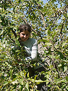 Turkey, Pontic Mountains range, Child picks apples